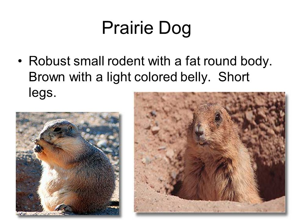 Prairie Dog Robust small rodent with a fat round body.