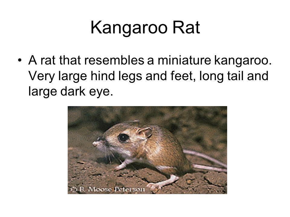 Kangaroo Rat A rat that resembles a miniature kangaroo.