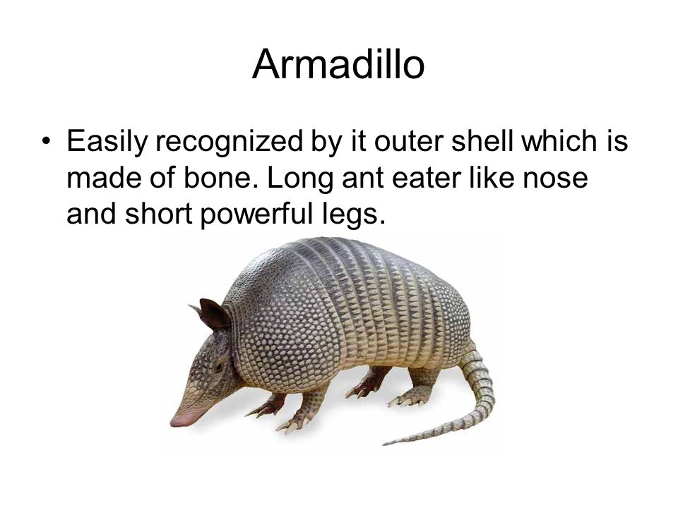 Armadillo Easily recognized by it outer shell which is made of bone.