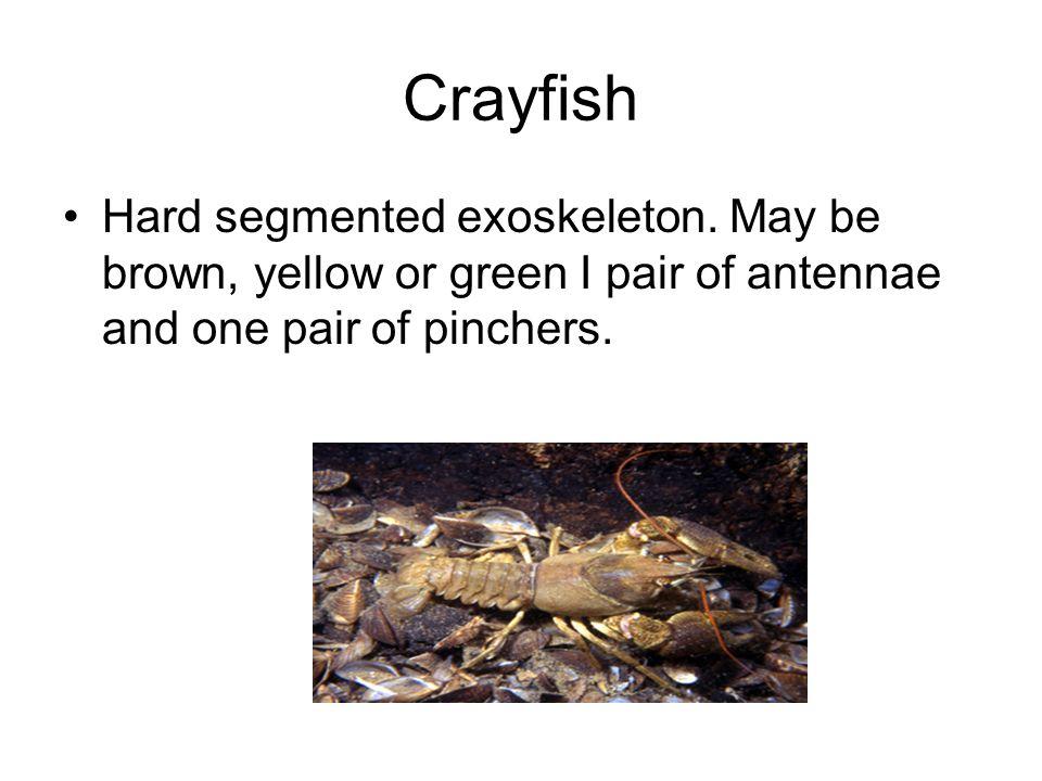 Crayfish Hard segmented exoskeleton.