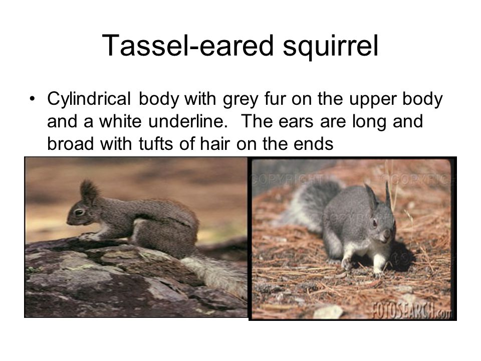 Tassel-eared squirrel Cylindrical body with grey fur on the upper body and a white underline.