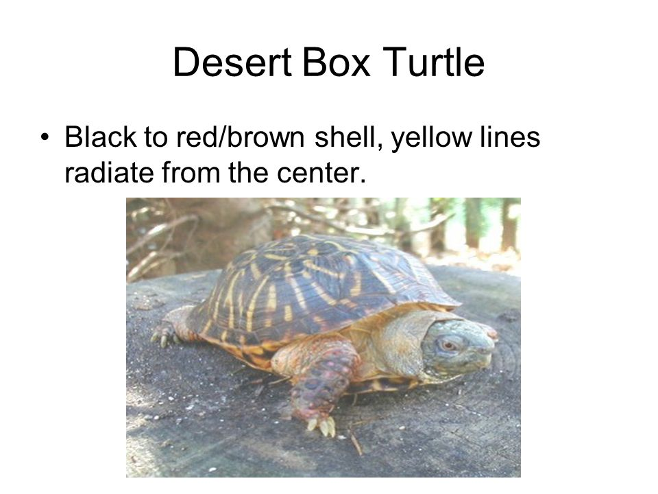 Desert Box Turtle Black to red/brown shell, yellow lines radiate from the center.