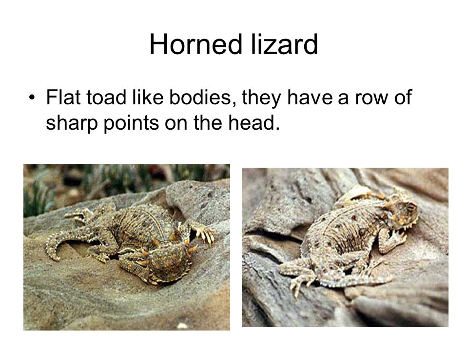 Horned lizard Flat toad like bodies, they have a row of sharp points on the head.