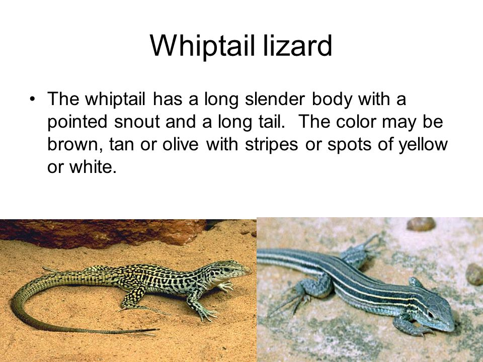 Whiptail lizard The whiptail has a long slender body with a pointed snout and a long tail.