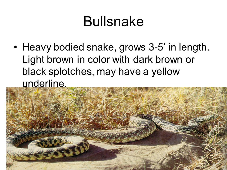Bullsnake Heavy bodied snake, grows 3-5' in length.