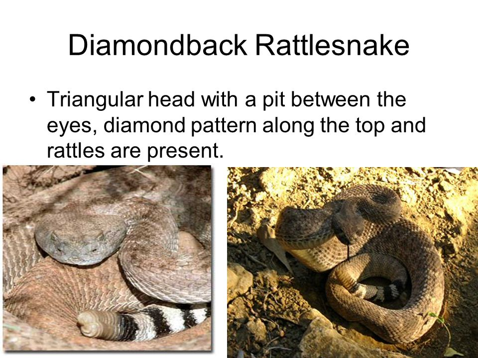 Diamondback Rattlesnake Triangular head with a pit between the eyes, diamond pattern along the top and rattles are present.