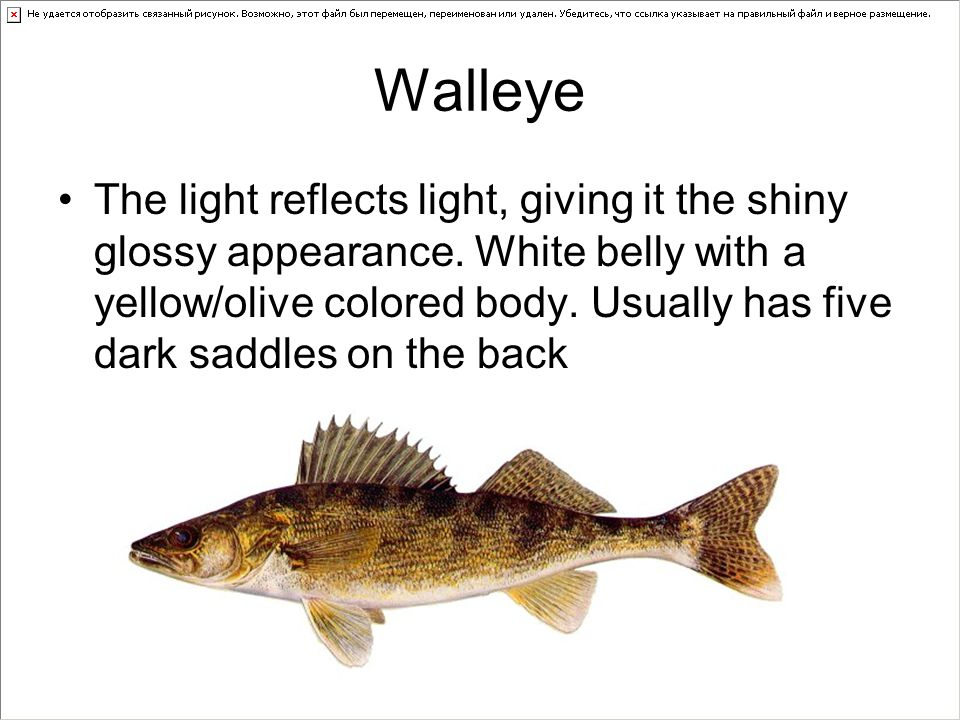 Walleye The light reflects light, giving it the shiny glossy appearance.
