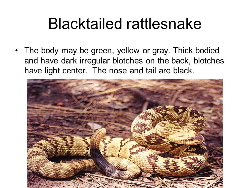 Blacktailed rattlesnake The body may be green, yellow or gray.