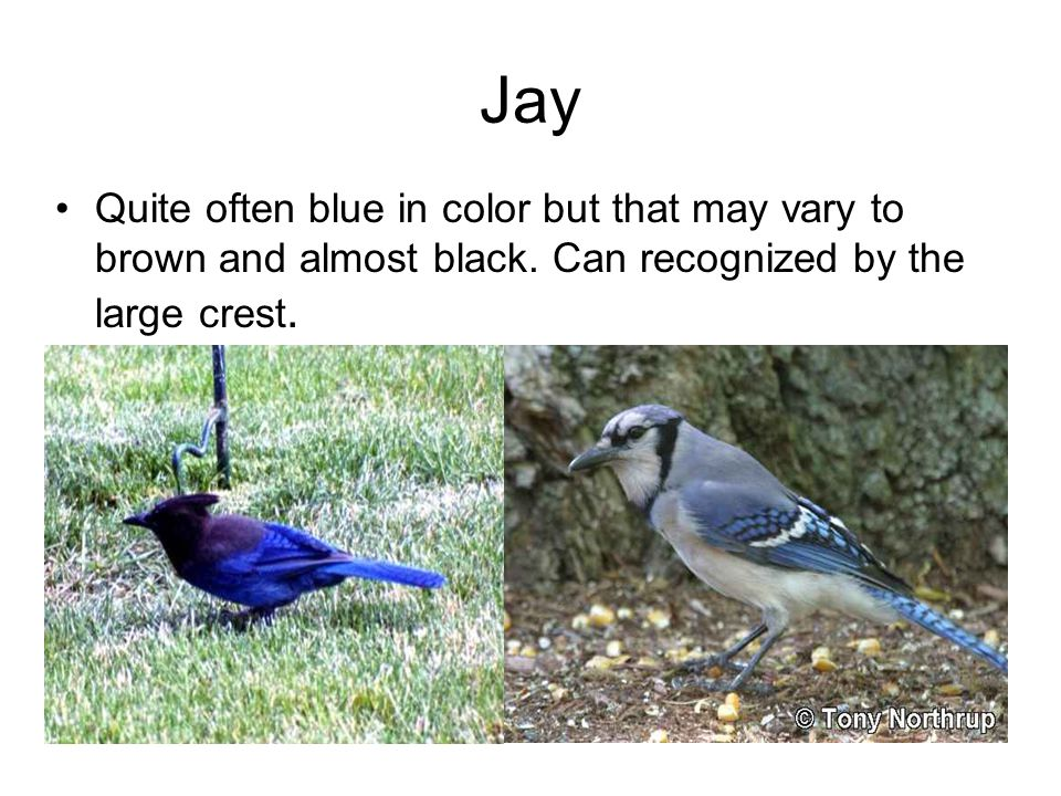 Jay Quite often blue in color but that may vary to brown and almost black.