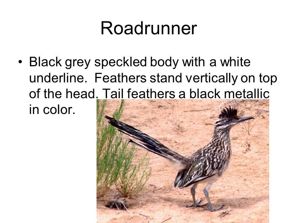 Roadrunner Black grey speckled body with a white underline.