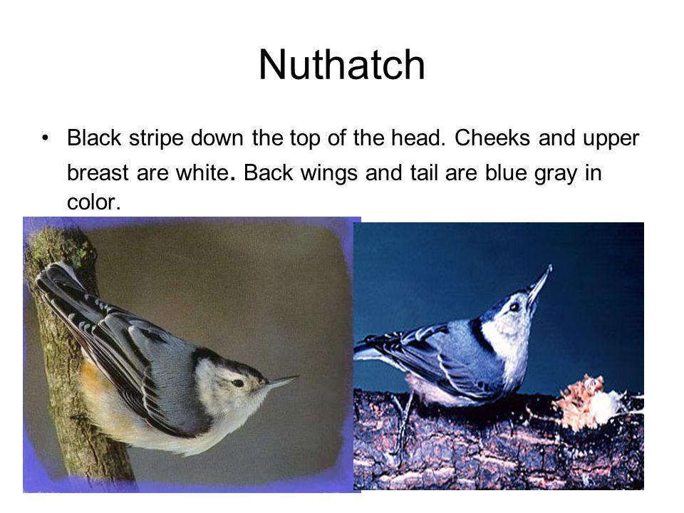 Nuthatch Black stripe down the top of the head. Cheeks and upper breast are white.