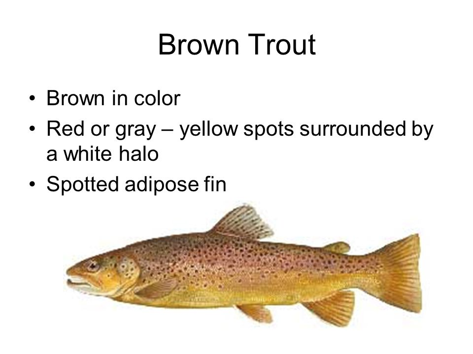 Brown Trout Brown in color Red or gray – yellow spots surrounded by a white halo Spotted adipose fin