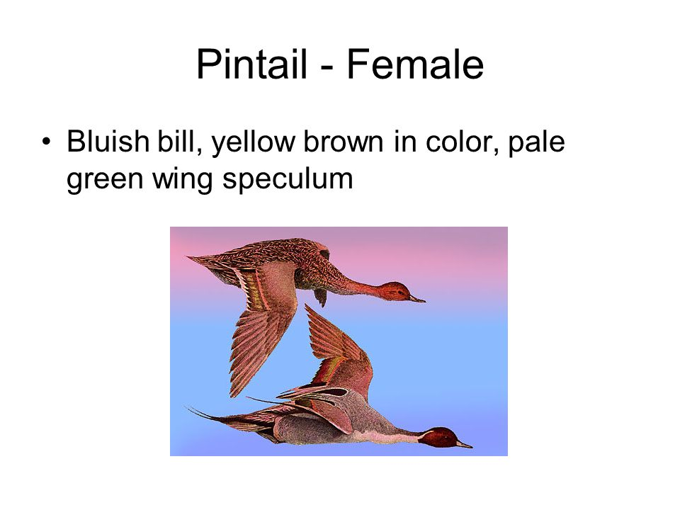 Pintail - Female Bluish bill, yellow brown in color, pale green wing speculum