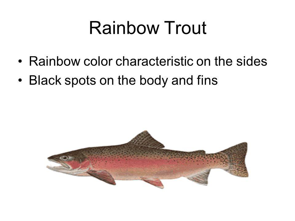 Rio Grande cutthroat trout Red slash marks below the jaw.