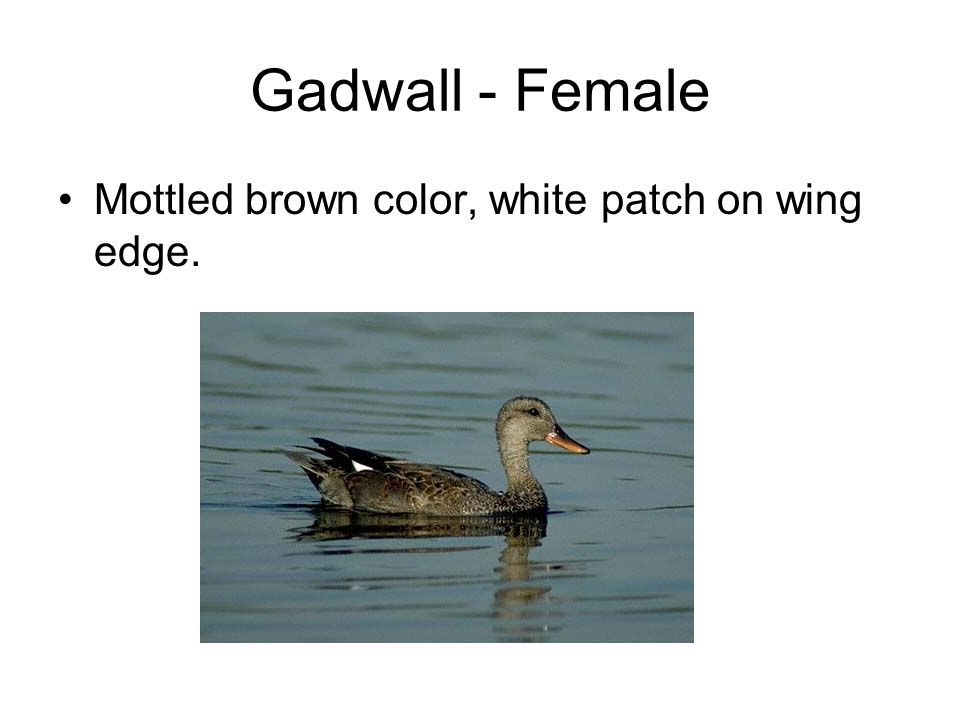 Gadwall - Female Mottled brown color, white patch on wing edge.