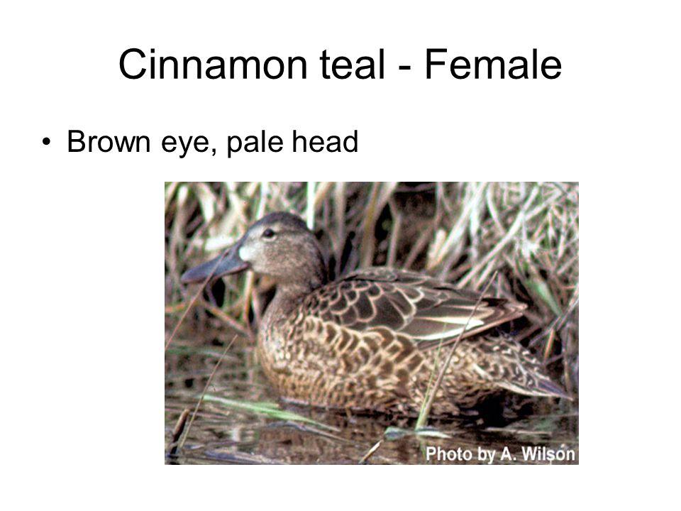 Cinnamon teal - Female Brown eye, pale head