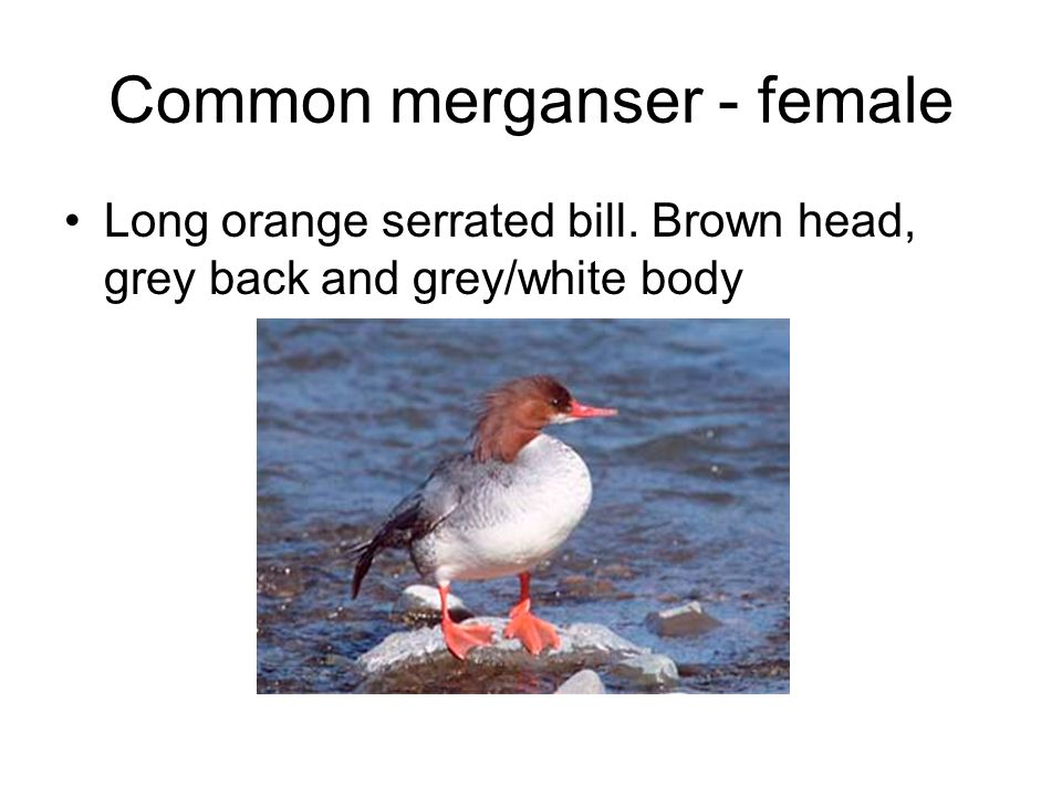 Common merganser - female Long orange serrated bill. Brown head, grey back and grey/white body