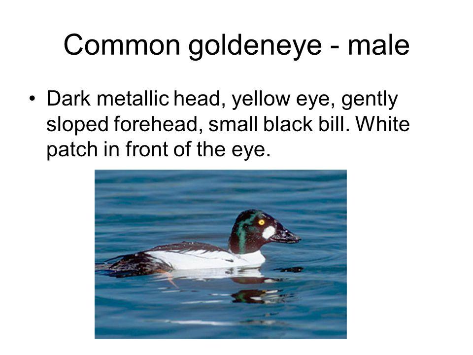 Common goldeneye - male Dark metallic head, yellow eye, gently sloped forehead, small black bill.