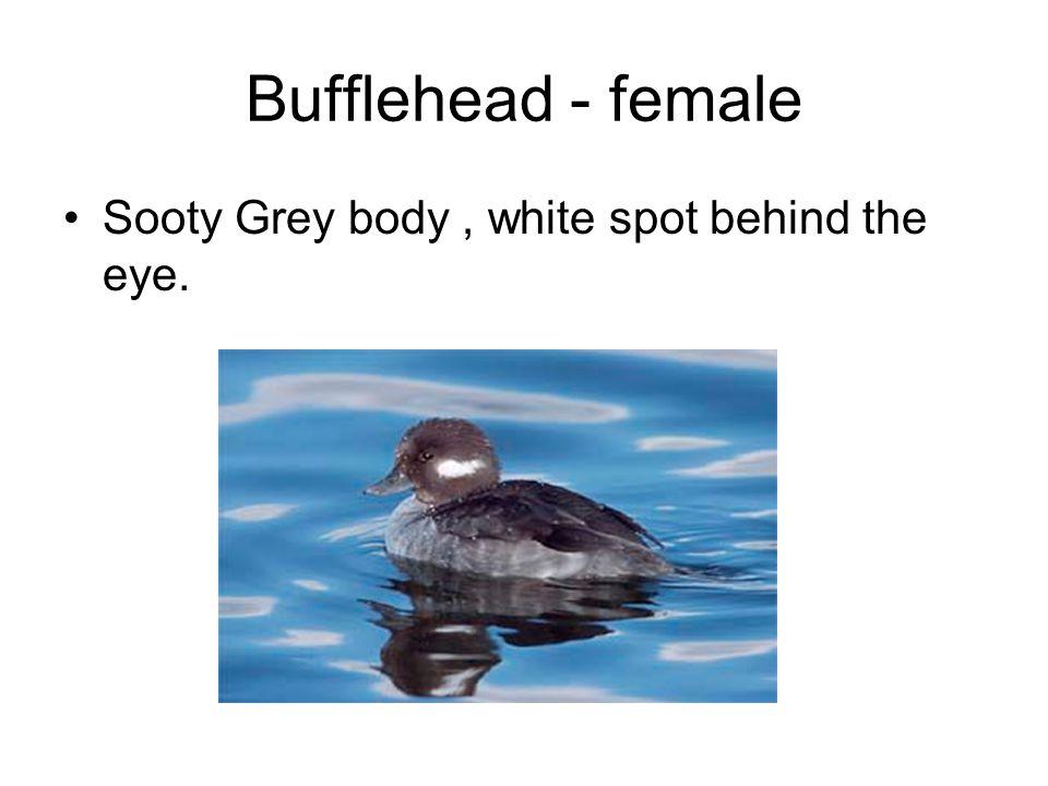 Bufflehead - female Sooty Grey body, white spot behind the eye.