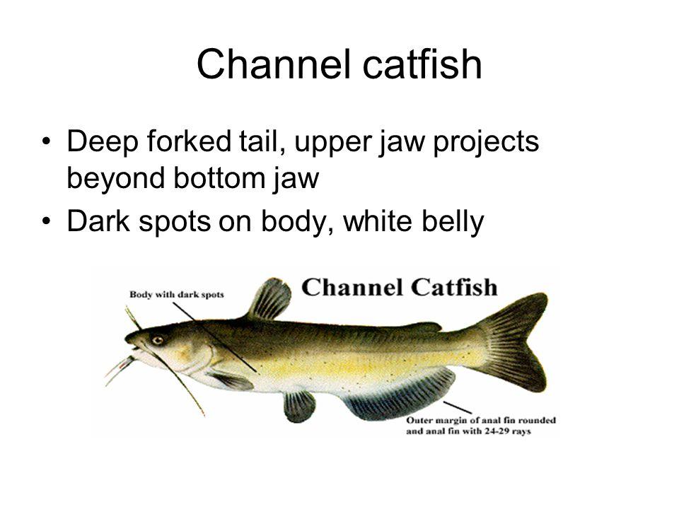 Flathead catfish Flat head, lower jaw projects beyond upper jaw.