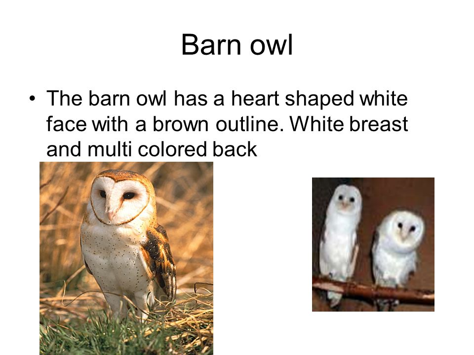 Barn owl The barn owl has a heart shaped white face with a brown outline.