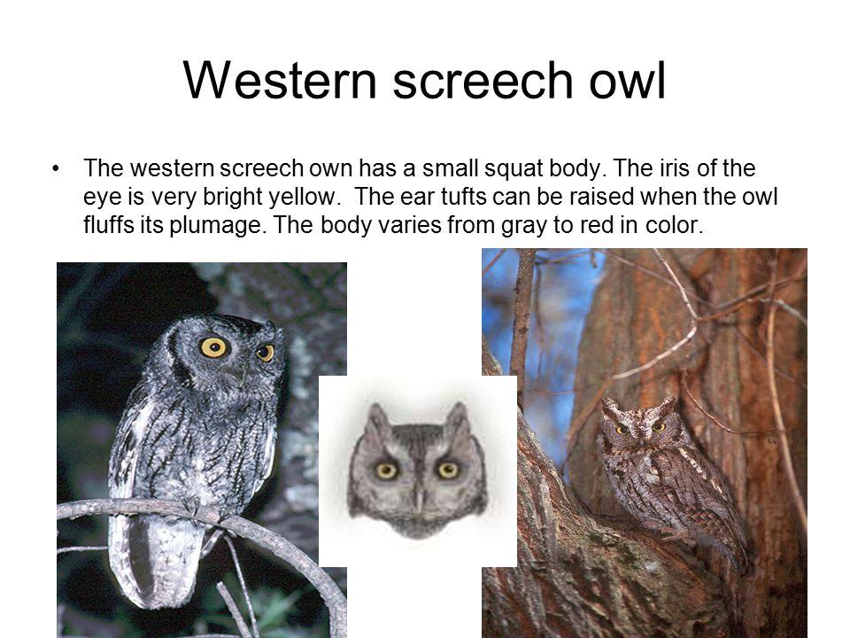 Western screech owl The western screech own has a small squat body.