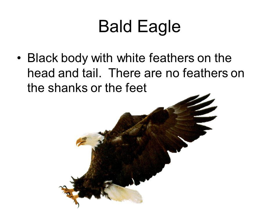 Bald Eagle Black body with white feathers on the head and tail.