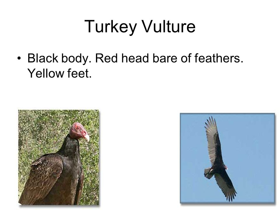 Turkey Vulture Black body. Red head bare of feathers. Yellow feet.