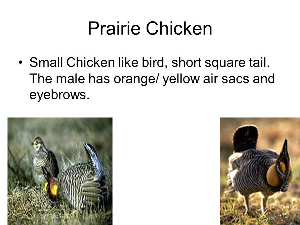 Prairie Chicken Small Chicken like bird, short square tail.