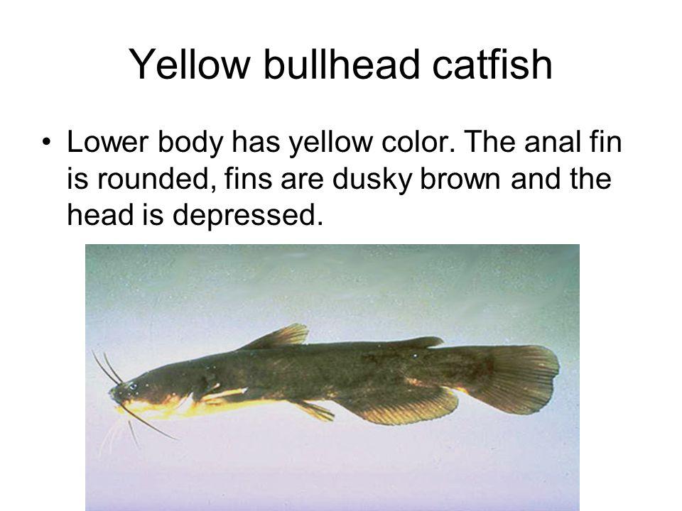 Yellow bullhead catfish Lower body has yellow color.