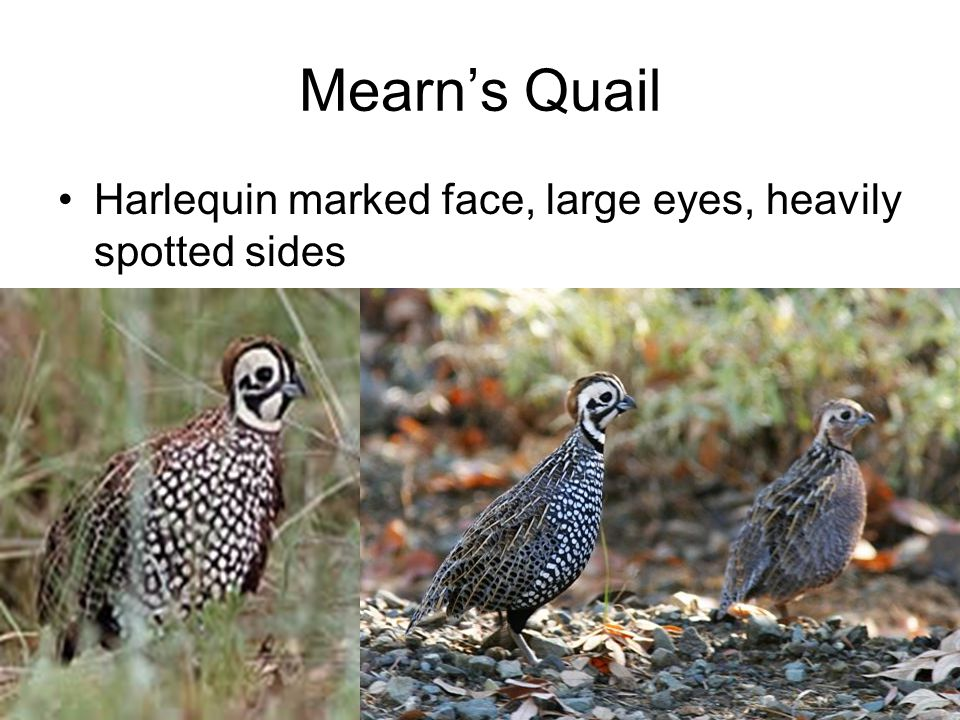 Mearn's Quail Harlequin marked face, large eyes, heavily spotted sides