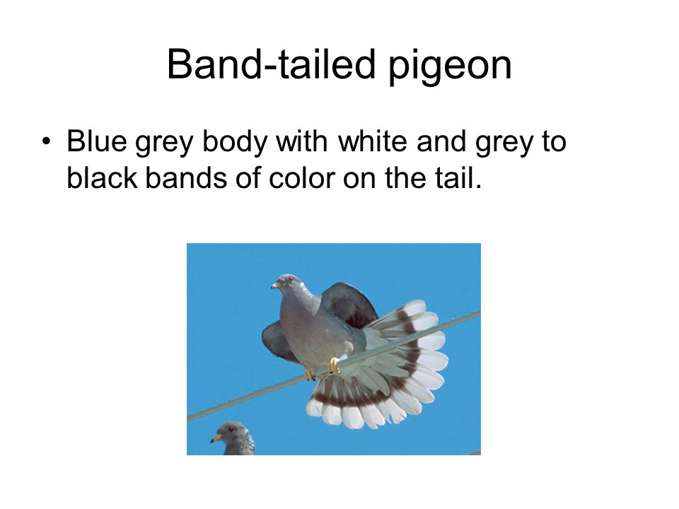 Band-tailed pigeon Blue grey body with white and grey to black bands of color on the tail.