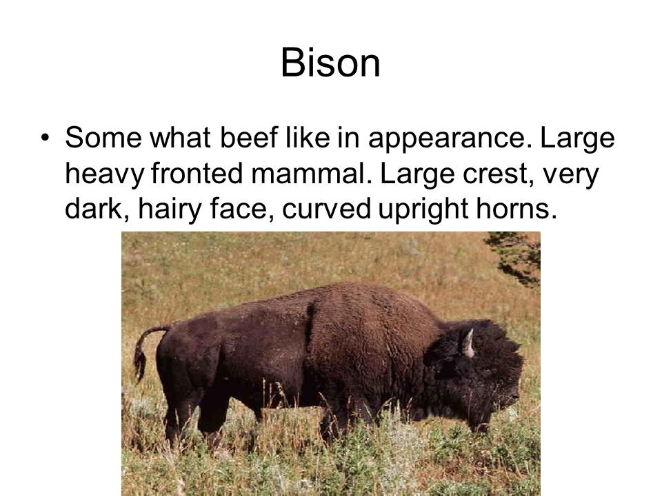 Bison Some what beef like in appearance. Large heavy fronted mammal.