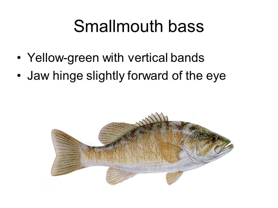 Largemouth Bass Usually dark green, dark splotches form a horizontal line.