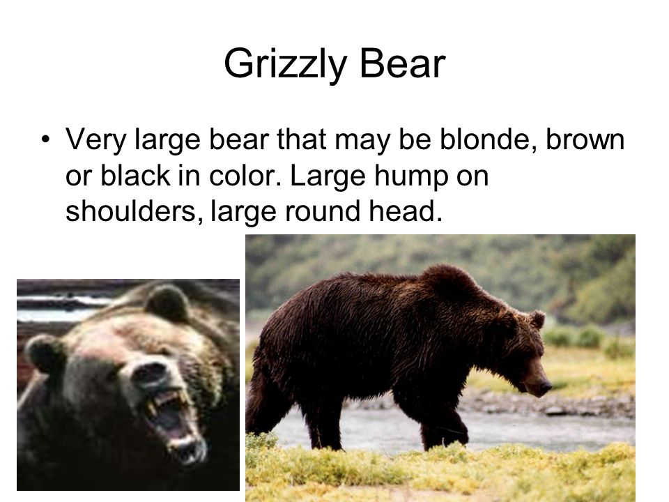 Grizzly Bear Very large bear that may be blonde, brown or black in color.