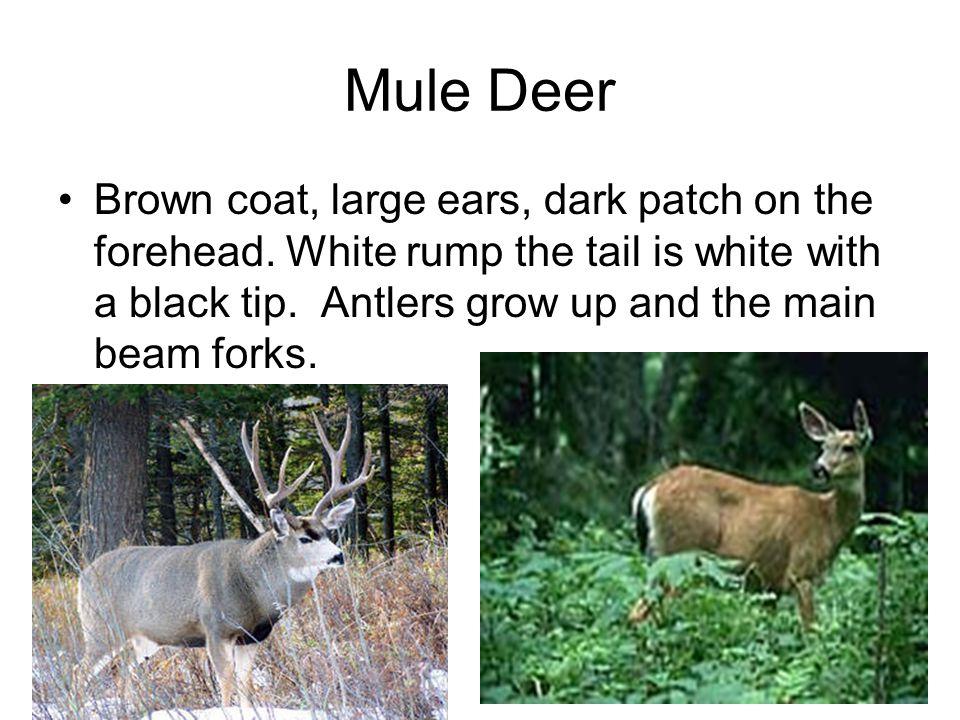 Mule Deer Brown coat, large ears, dark patch on the forehead.
