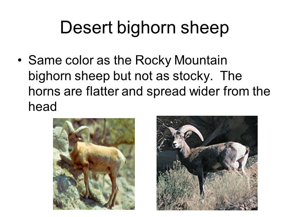 Desert bighorn sheep Same color as the Rocky Mountain bighorn sheep but not as stocky.