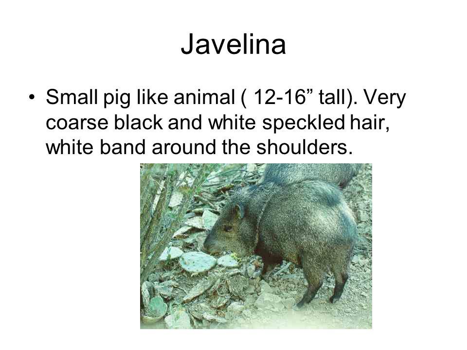 Javelina Small pig like animal ( 12-16 tall).
