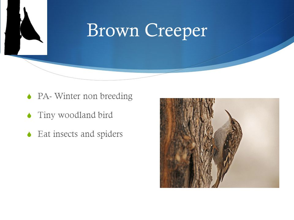 Chimney Swift  PA- Summer for breeding  It spends a lot of time in flight  Long claws  Do nest on chimneys!