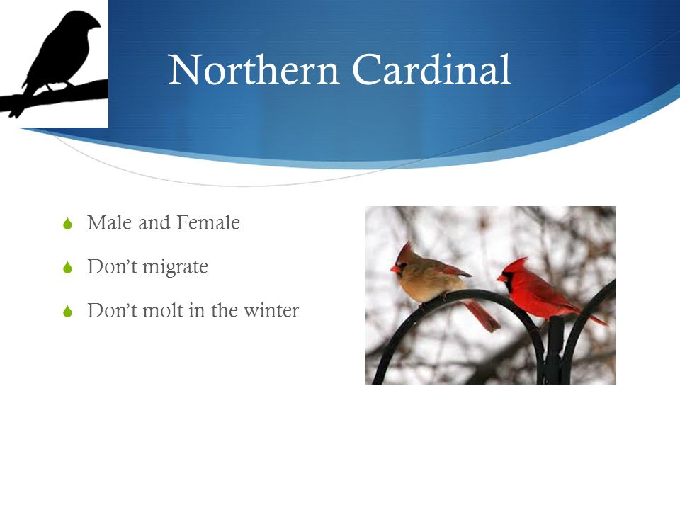 Northern Cardinal  Male and Female  Don't migrate  Don't molt in the winter