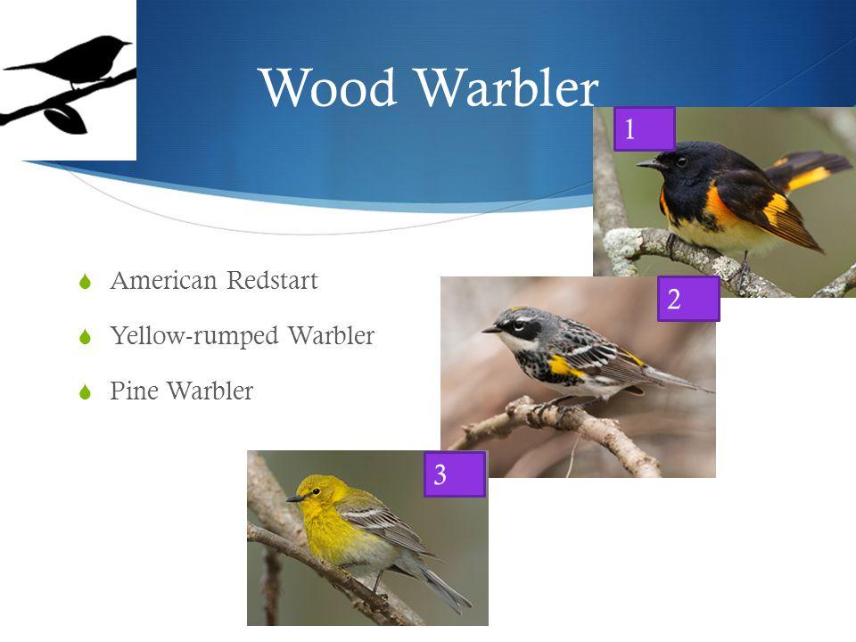 Wood Warbler  American Redstart  Yellow-rumped Warbler  Pine Warbler 1 2 3