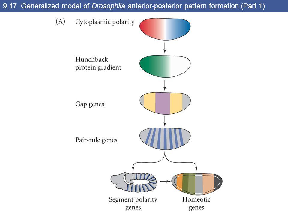 9.26 Three types of segmentation gene mutations (Part 1)