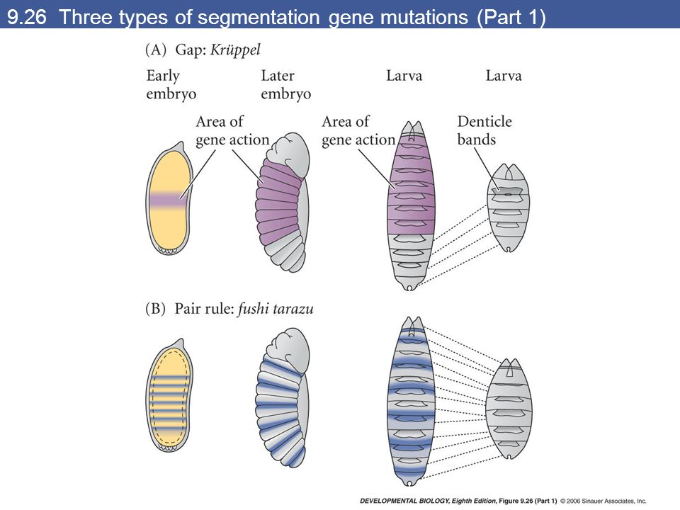 9.26 Three types of segmentation gene mutations (Part 1)
