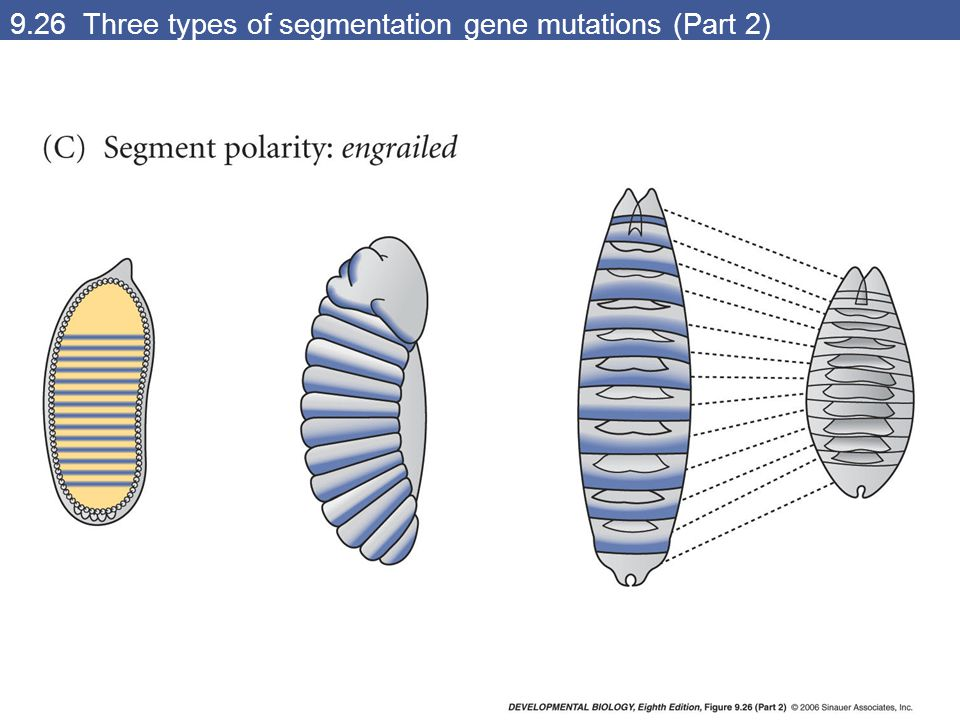 9.26 Three types of segmentation gene mutations (Part 2)