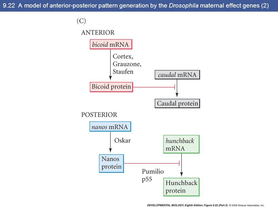 9.23 Bicoid protein gradient in the early Drosophila embryo