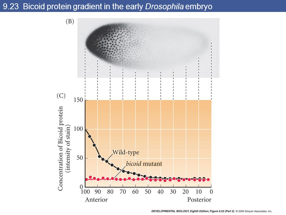 9.23 Bicoid protein gradient in the early Drosophila embryo