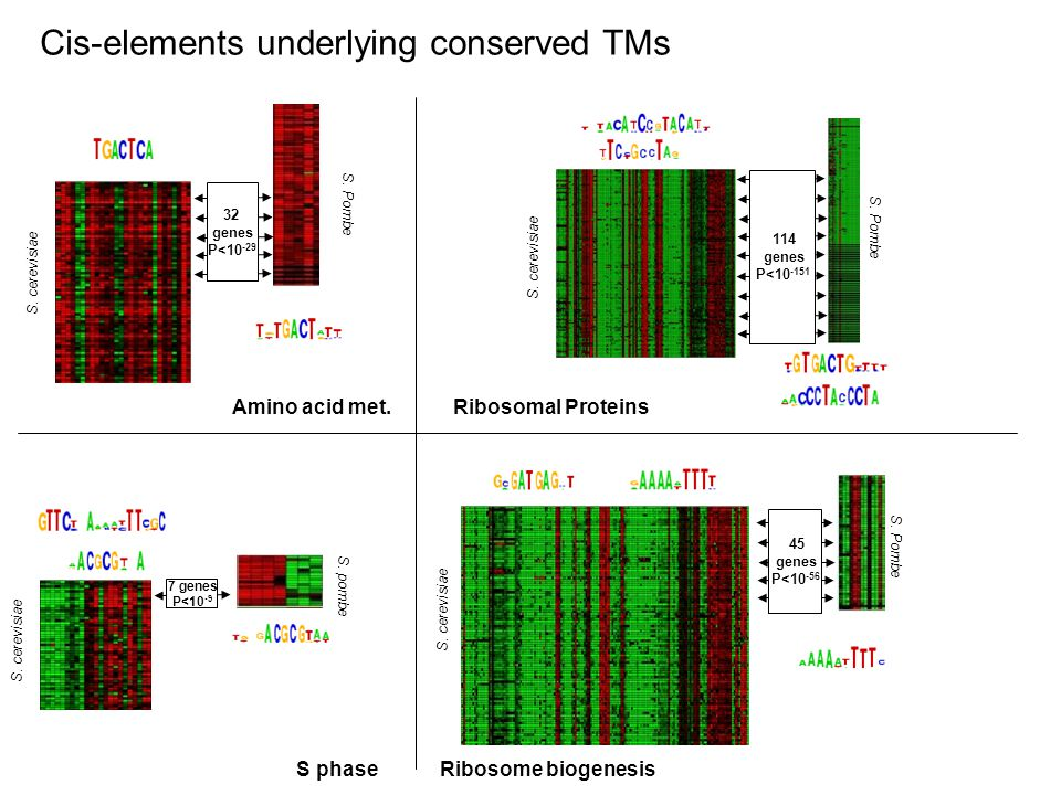 Cis-elements underlying conserved TMs 32 genes P<10 -29 S. cerevisiae S. Pombe 114 genes P<10 -151 S. cerevisiae S. Pombe 45 genes P<10 -56 Ribosome b
