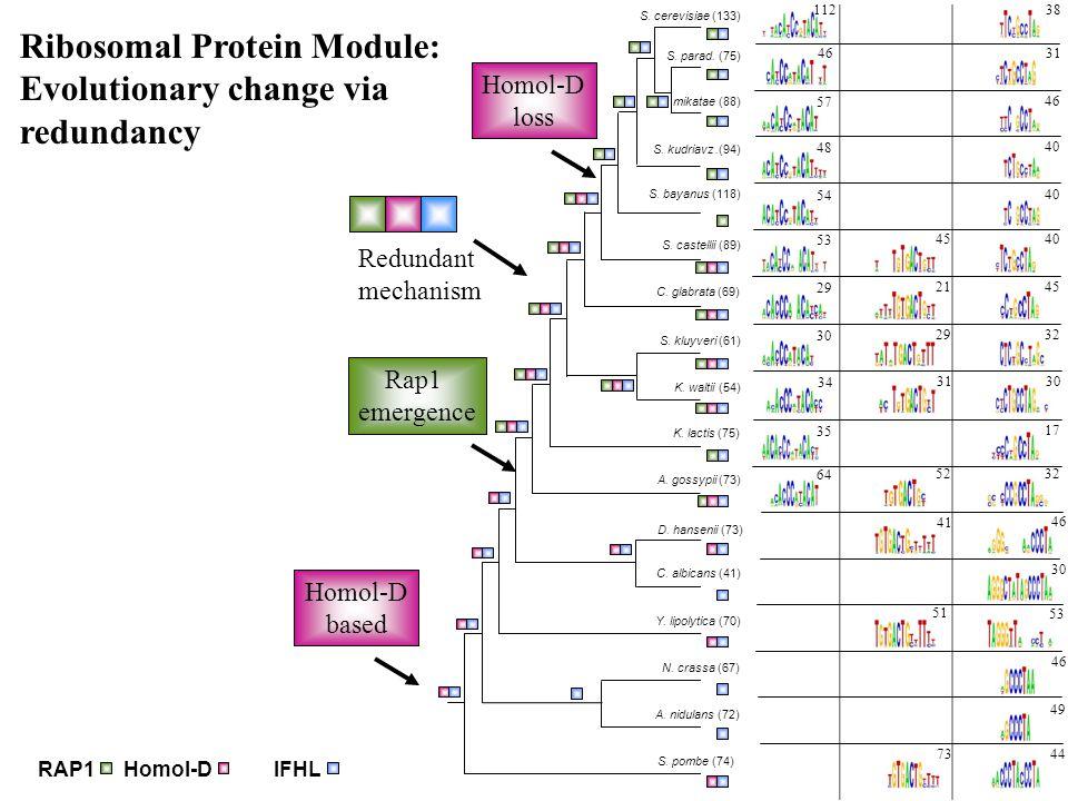 RAP1Homol-DIFHL Rap1 emergence Homol-D loss Ribosomal Protein Module: Evolutionary change via redundancy Redundant mechanism Homol-D based