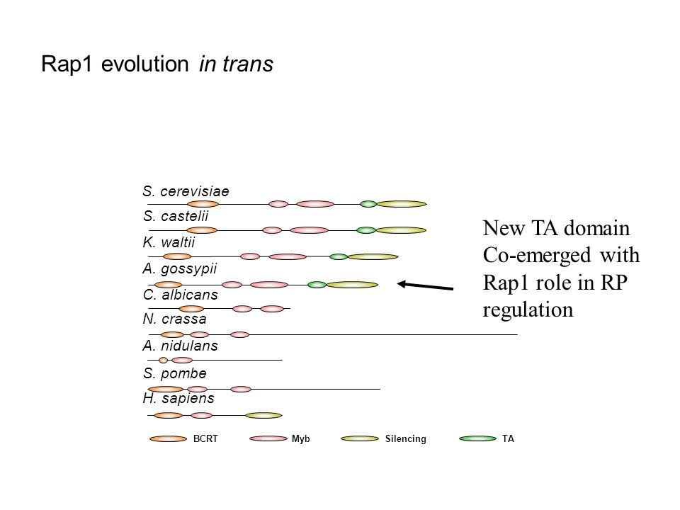 Rap1 evolution in trans BCRTMybSilencingTA S. cerevisiae S.