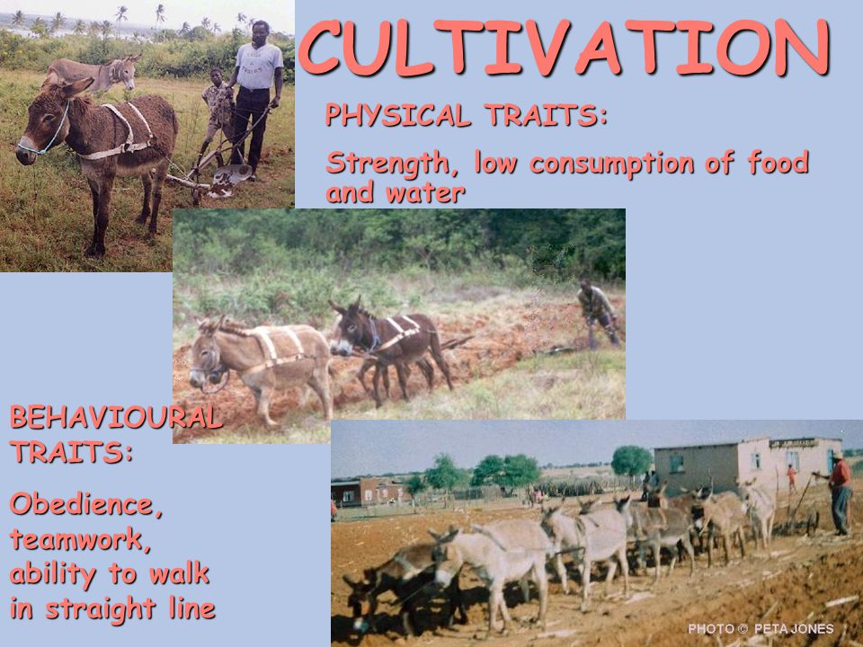 CULTIVATION PHYSICAL TRAITS: Strength, low consumption of food and water BEHAVIOURAL TRAITS: Obedience, teamwork, ability to walk in straight line
